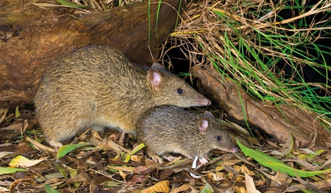 Northern Brown Bandicoot    mother and baby Photography Steve Parish