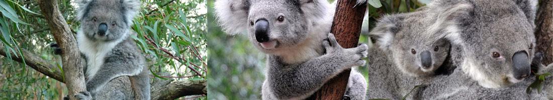 bio-koalas2