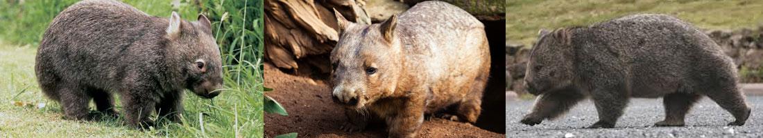 bio-wombat